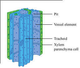 What are the different parts of Xylem and Phloem - Science ...