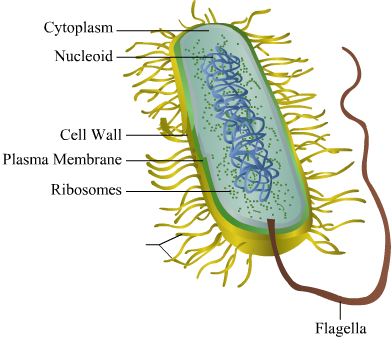 Bacteria diagram easy data wiring diagrams can u please help me with an easy to draw labled diagram of bacteria rh meritnation com virus diagram virus diagram ccuart Image collections