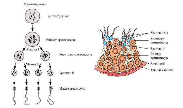 How are sperms released and produced wat is semen 7010008 how are sperms released and produced wat is semen 7010008 meritnation ccuart Image collections
