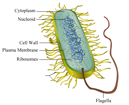 please give me the well labeled diagram of bacterial call - science