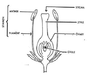 explain the structure of male and female reproductive part of a plant - Science - How do Organisms Reproduce - 3535036   Meritnation.com