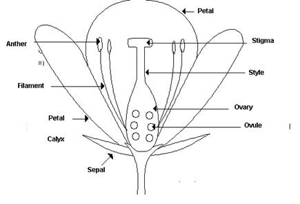 Similiar unlabeled flower diagram keywords unlabeled flower diagram flower fertilization diagram ccuart Image collections