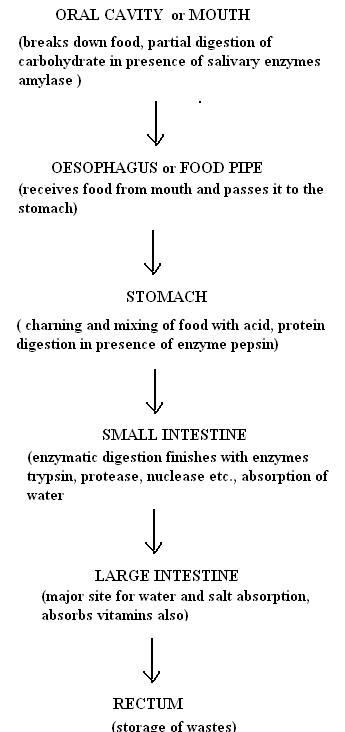 Digestive system flowchart flowchart in word expert answer ccuart Gallery