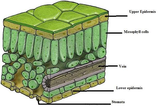 draw a labelled diagram of cross section of leaf | Meritnation.com