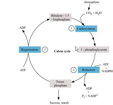 What Is Calvin Cycle 4481081 Meritnation