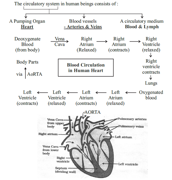 With The Help Of A Flow Chart Explain The Process Of Circulation Of