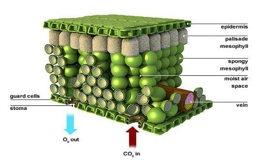 Draw a diagram of the leaf epiderms showing pores through ...