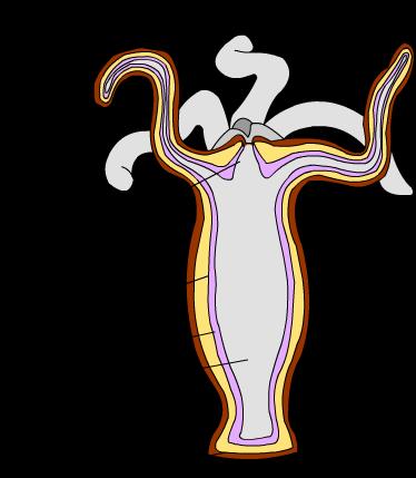 hydra body cavity
