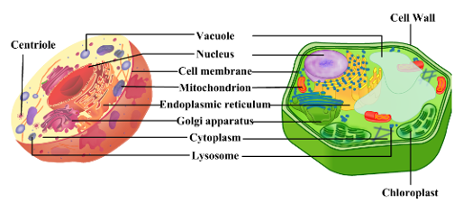 Difference between plant cell and animal cell 4496901 for your understanding i am providing you with the image of plant cell and animal cell ccuart Gallery