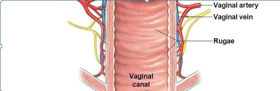 what is vaginal rugae please explain with diagram of vagina and vulva -  Zoology - - 14518931 | Meritnation.comMeritnation