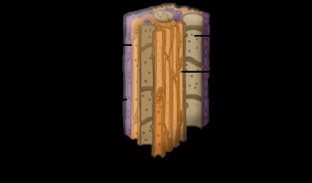 Xylem Tissue Diagram easy diagram of xylem ...