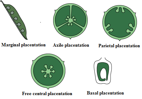 Define each type of placentation with diagram 10732327 basal placentation in this type of placentation the placenta is situated at the base of the ovary and a single ovule is attached to it ccuart Gallery