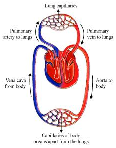 describe double circulation in human beings why it is ...