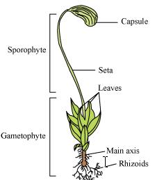 Riccia     Marchantia  funaria diagrams  Science  Diversity