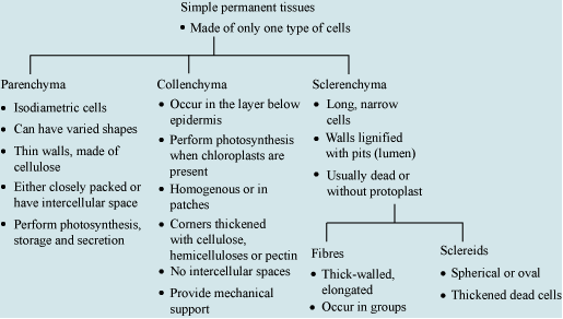 parenchyma tissue function Depending on the species, parenchyma may function in providing skeletal   tissue, this continuous parenchyma consists of various types of cells embedded.