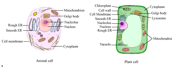 Diagram Of Plant And Animal Cell 2212445 Meritnation
